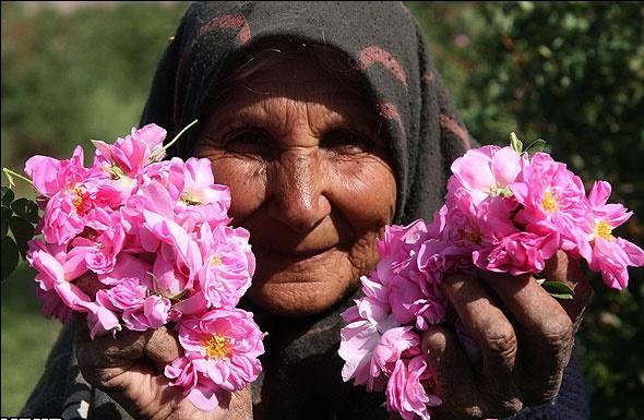 شهرستان شاهینشهر و میمه بعد از کاشان رتبه دوم تولید گل محمدی در استان اصفهان را به خود اختصاص داد