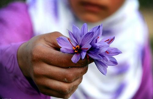 پیاز زعفران از کشور ممنوع الخروج شد/ در صورت مشاهده با متخلفان برخورد قانونی خواهد شد