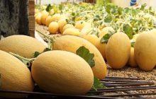 دومین جشنواره خربزه گرگاب شاهینشهر 21 مرداد برگزار میشود